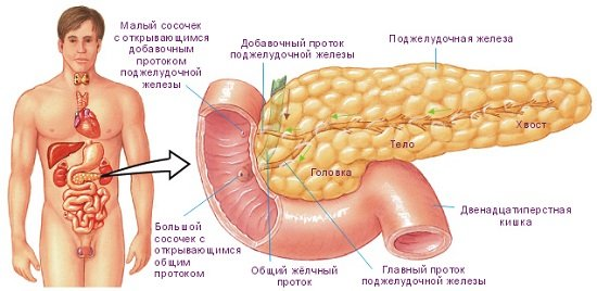 1-podzheludochnaya-zheleza-stroyeniye-i-raspolozheniye